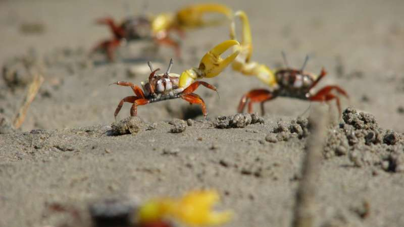 Female fiddler crabs want protection not sex