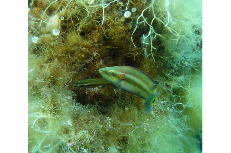 Female fish can favor sperm from preferred males despite external fertilization