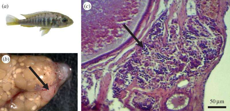 Female fish develops male organs and impregnates self