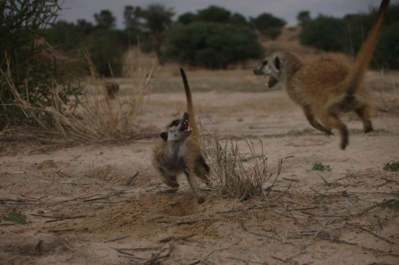 Female meerkats compete to outgrow their sisters