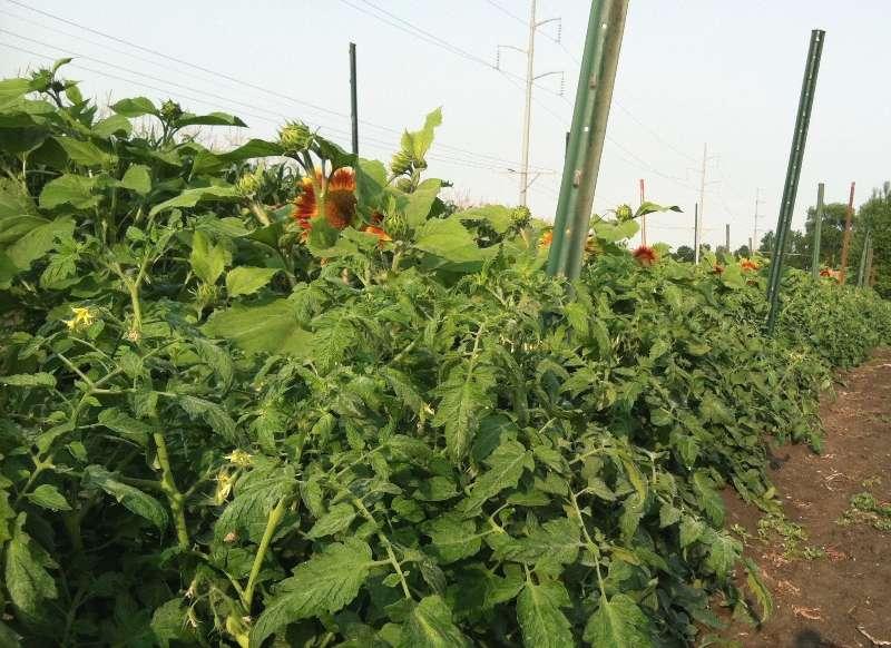 Los tratamientos con fertilizantes y mantillo plástico benefician el rendimiento del tomate