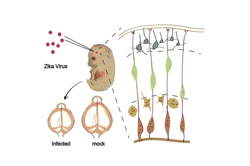 Fetal mice with Zika infection get microcephaly