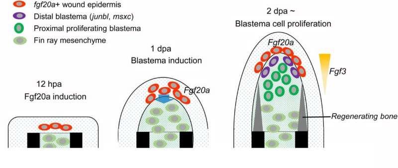Fibroblast growth factor signalling controls fin regeneration in zebrafish