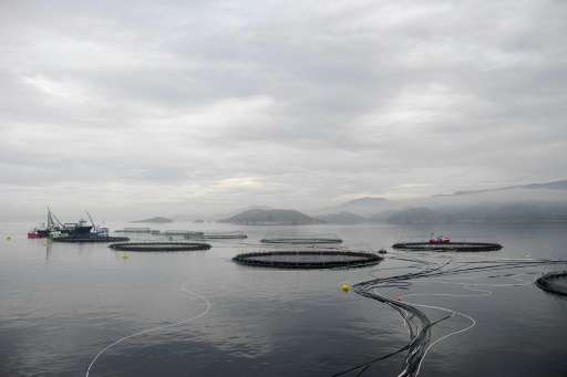 Fifteen huge circular nets float in the tranquil bay of Hitra, an island on the west coast of Norway, each containing some 120,0
