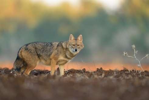First golden jackal spotted in the Netherlands