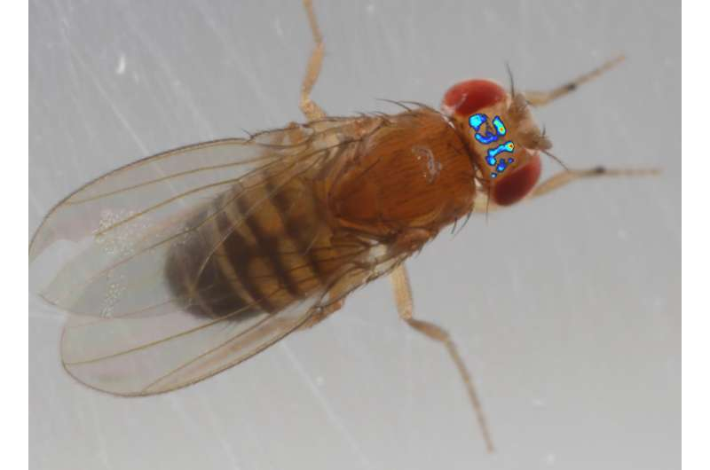 First peek into the brain of a freely walking fruit fly