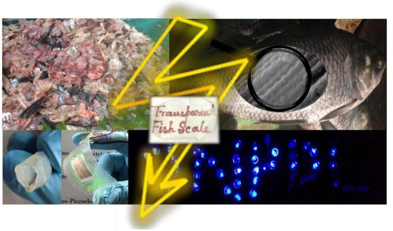 Fish 'biowaste' converted to piezoelectric energy harvesters