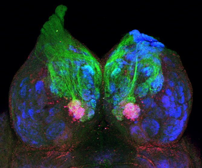 Fish courtship pheromone uses the brain's smell pathway