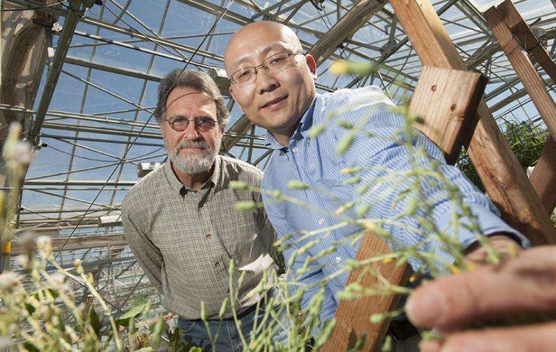 Gene blocking lettuce germination also regulates flowering time