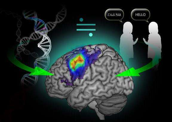 Genes and the environment equally affect language-related brain activity