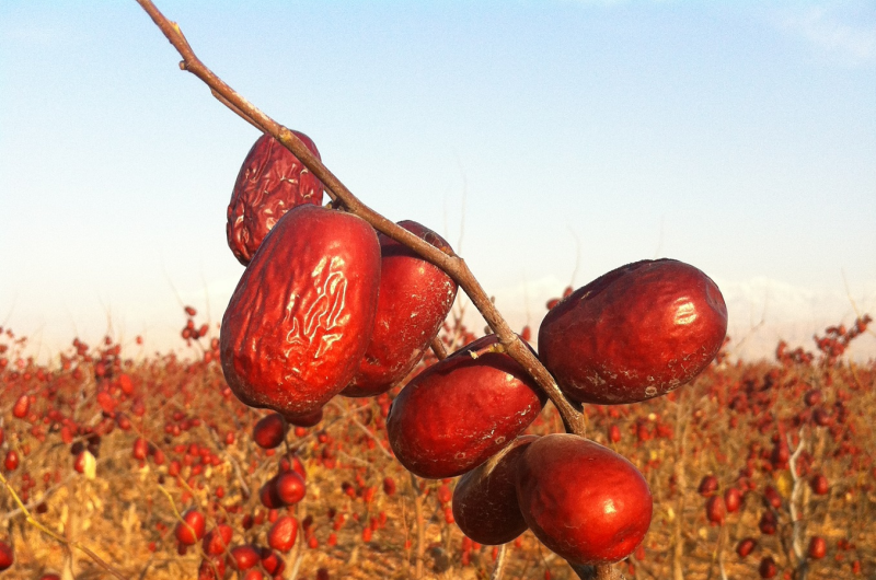 Genes controlling sugar and acid content played key role in jujube domestication