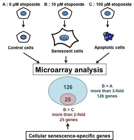 Genes that control cellular senescence identified