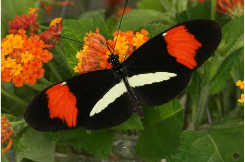 Genetic switch that turned moths black also colors butterflies