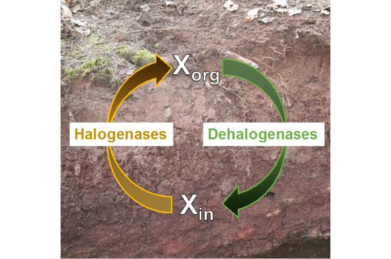 Geomicrobiologists show that many bacteria and fungi in soil make organohalogens