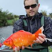 Gold rush! First evidence of spawning migration of football-size goldfish