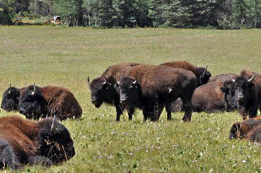 Grand Canyon weighs killing, capturing bison to cut numbers