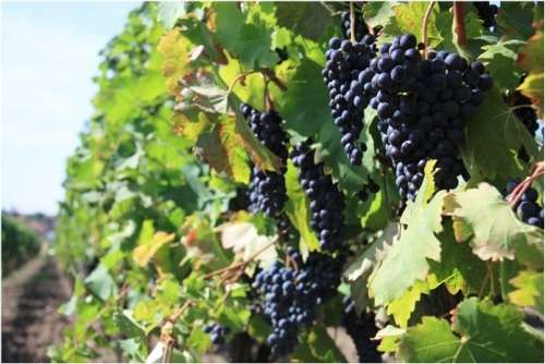 Grapevines of Southern Spain will suffer more from the impact of climate change