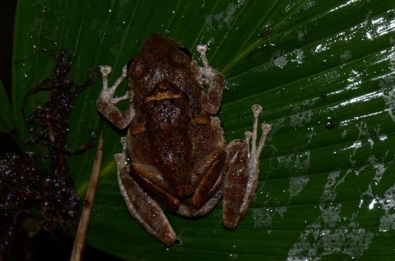 Greek heroic deity Prometheus now has a namesake in a new tiny rain frog from Ecuador