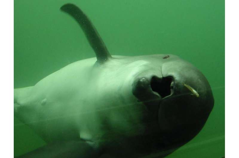 Harbour porpoises are skilled hunters and eat almost constantly