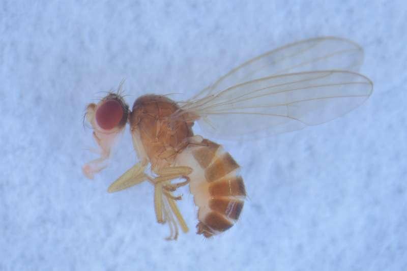 Hawaiian fruit flies had multiple ancestors