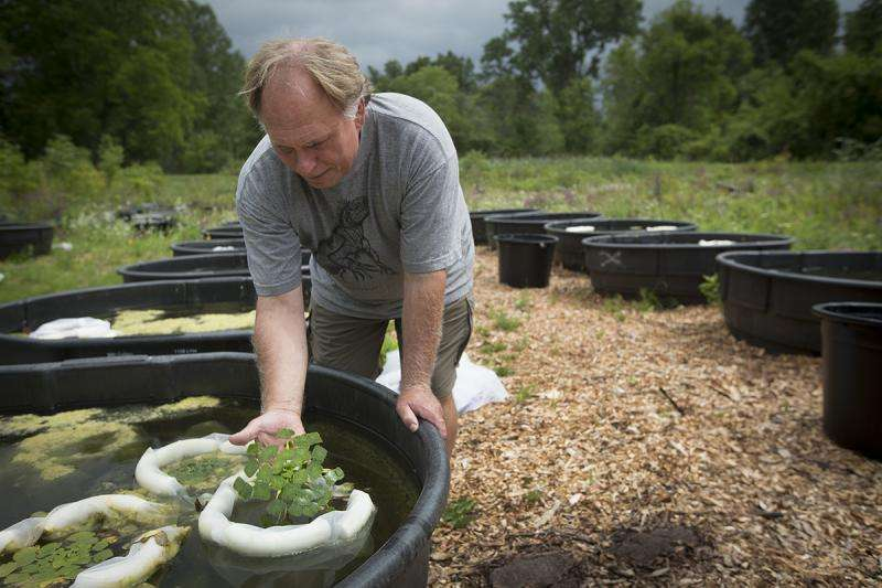 Herbicides can't stop invasive plants. Can bugs?