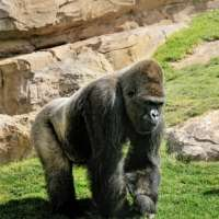Homosexual activity documented in female gorillas for the first time
