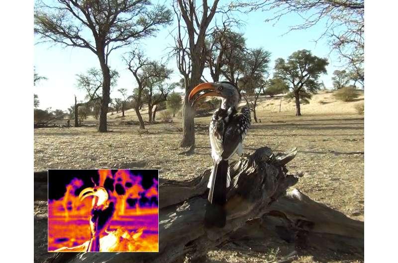 Hornbills in the Kalahari desert may keep cool by losing heat through their beaks