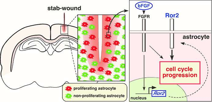 How brain tissue recovers after injury