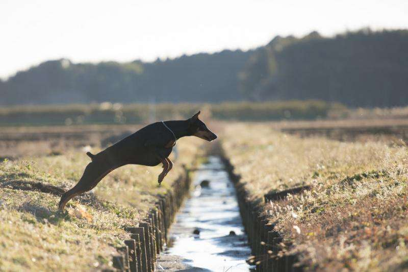 How dogs find their way home (without a GPS)