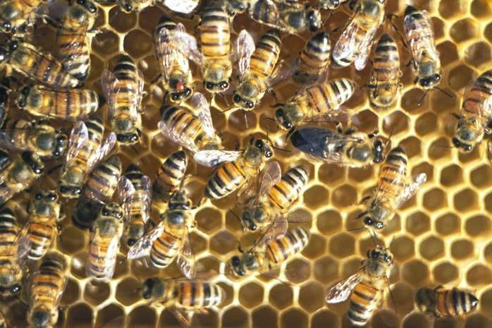 How honeybees do without males