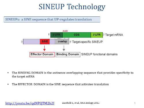 "Human ""junk"" gene sequences can promote translation"