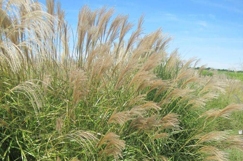 Identifying traits early in development could predict future biomass production in Miscanthus