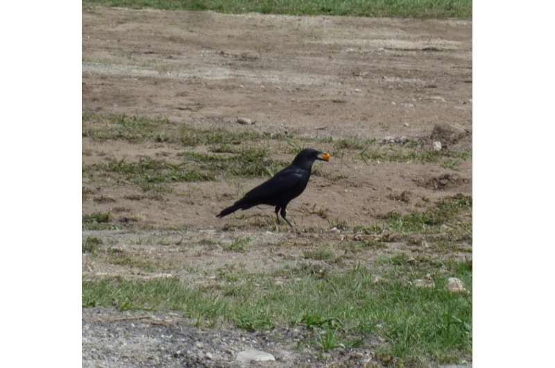 In a race for Cheetos, magpies win, but crows steal
