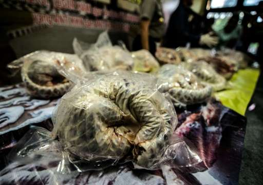 Indonesian authorities have seized more than 650 critically endangered pangolins found hidden in freezers and arrested a man for