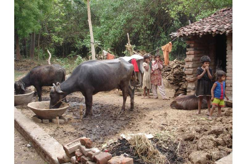 Insecticide treatment of cattle to kill sand flies and combat leishmaniasis