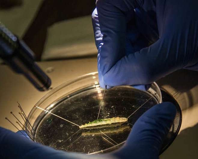 Insect spit a key weapon in ongoing agriculture war