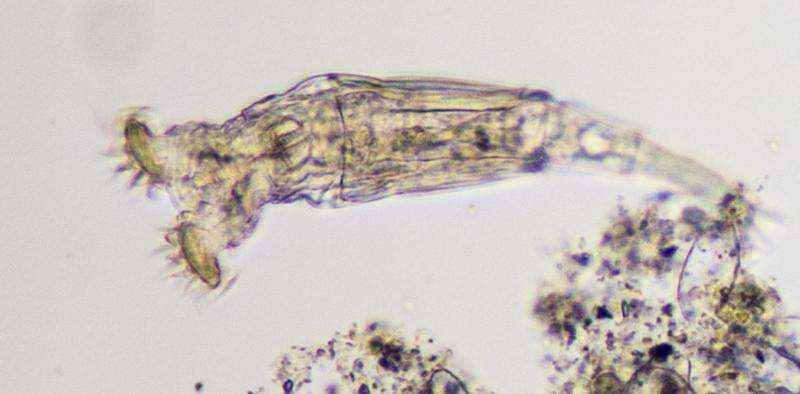 Instead of sexual reproduction, rotifers scavenge new genes from other pond life