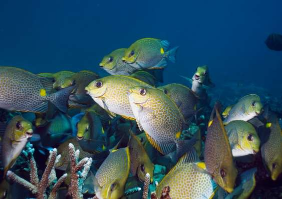 Invasive fish threat to kelp forests