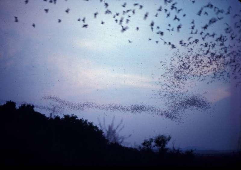 It's not a bird! It's not a plane! It's the fastest flying mammal, says UT study