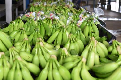 Ivory Coast and is second to Cameroon as Africa's biggest exporter of the fruit