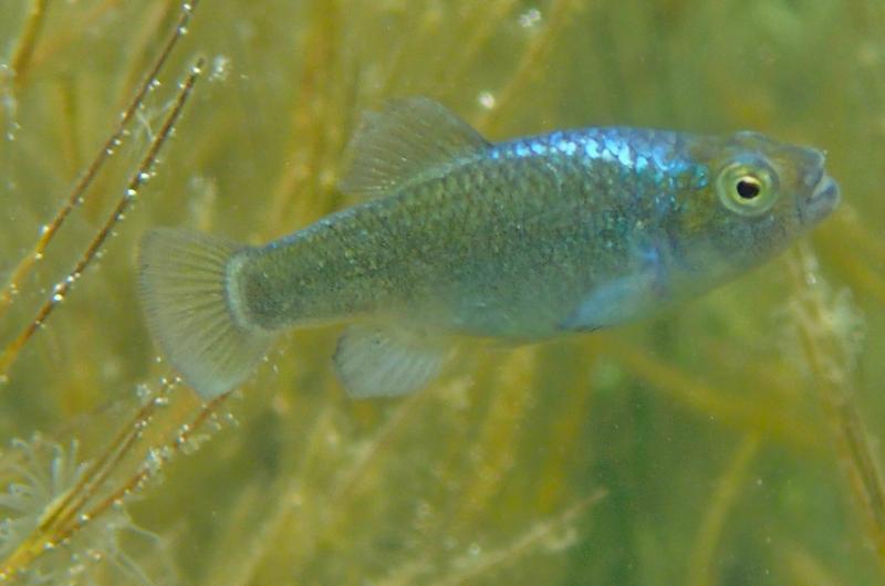 Jawing away: Bahama pupfish study identifies candidate genes driving food-niches