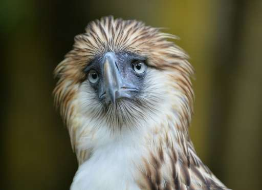 Just hundreds of Philippine Eagles are believed to be left in the wild