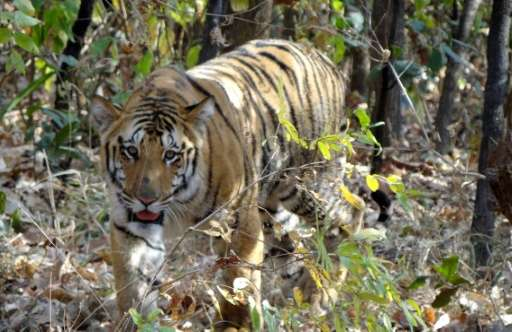 Large carnivores like tigers keep the population of other animals in check, and help prevent a cascading chain of imbalance in e