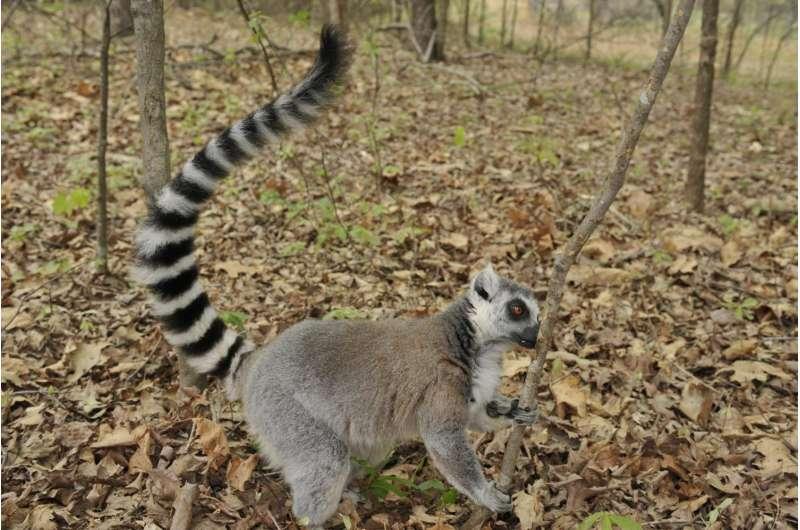 Lemurs mix smelly secretions to make richer, longer-lasting scents
