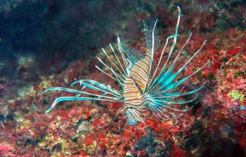 Lionfish invading the Mediterranean Sea