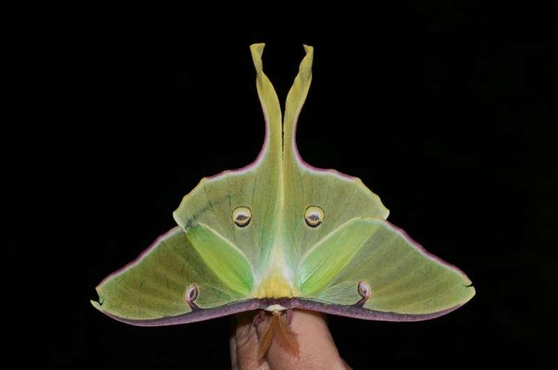 Luna moth's long tail could confuse bat sonar through its twist