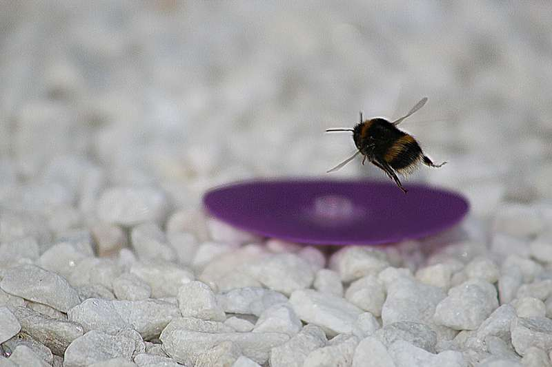 Male bumblebees leave home without looking back