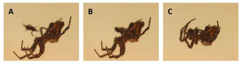 Male orb-weaving spiders cannibalized by females may be choosy about mating