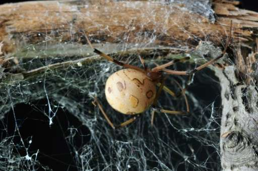 Many male spiders get to copulate only once in their life before being eaten. Females, on the other hand, may mate more than onc