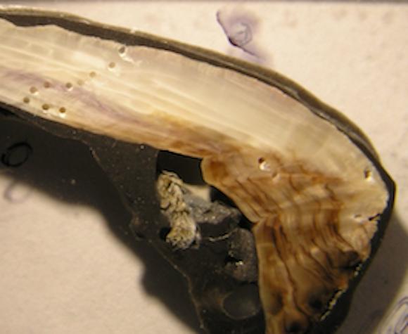 Modern mussel shells much thinner than 50 years ago